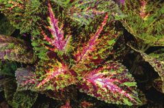 Giant Exhibition Marble (coleus)