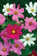Sensation Mix (Cosmos/large flowered tall)