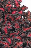 Black Dragon (Coleus)