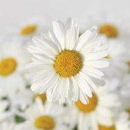 White Lion (Chrysanthemum)