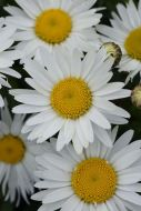 Madonna White (Chrysanthemum)