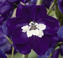 Magic Fountains Dark Blue/white bee (Delphinium)