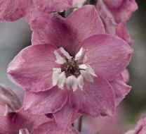 Magic Fountains Pink/white bee (Delphinium)