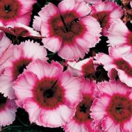 Super Parfait Raspberry (Dianthus)