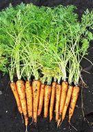 Orange Blaze (Carrot/hybrid)