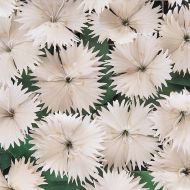 Ideal Select White (Dianthus)