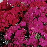 Amazon Neon Duo (Dianthus)