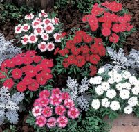 Carpet Series Mix (Dianthus)