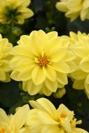Figaro™ Yellow (Dahlia)
