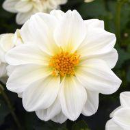 Figaro™ White (Dahlia)