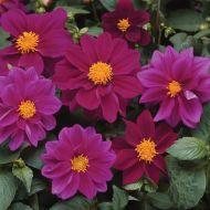 Figaro™ Violet (Dahlia)
