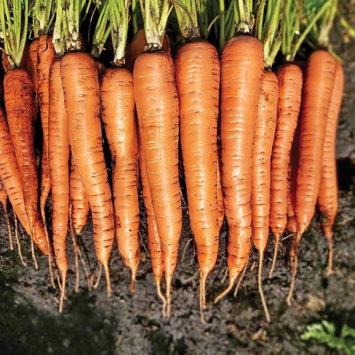 Sun 255 (Carrot/hybrid/cello)
