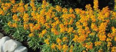 Citrona® Orange (Erysimum)