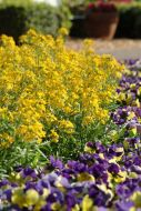 Citrona® Yellow (Erysimum)