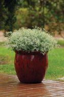 Glamour (Euphorbia)