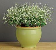 Glitz White (Euphorbia)