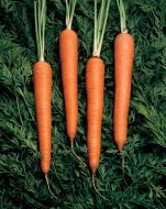 Cellobunch (Carrot/hybrid/early)