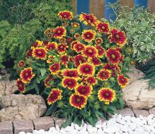 Arizona™ Sun (Gaillardia)