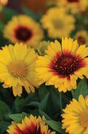 Mesa™ Bright Bicolor (Gaillardia)