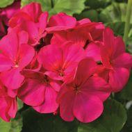 Maverick Violet (Geranium)