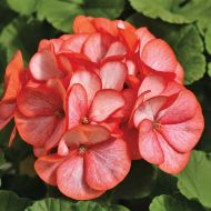 Maverick Scarlet Picotee (Geranium)