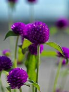 Ping Pong Purple (Gomphrena)