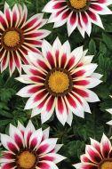 New Day Rose Stripe (Gazania)