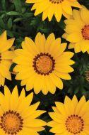 New Day Yellow (Gazania)
