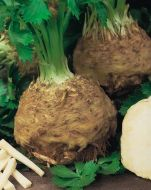 Giant Prague (Celeriac)