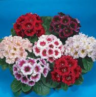 Empress Mix (Gloxinia)