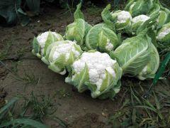 Aquarius (Cauliflower/main)