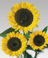 Cutting Gold (Helianthus)