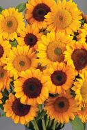 Vincent's Choice Dark Center (Helianthus)
