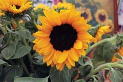Vincent's Choice Deep Orange DMR (Hybrid Helianthus)