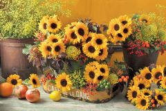 Sunrich Provence (Helianthus)