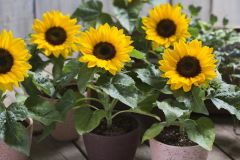 Smiley™ Sunflower (Helianthus/sterile)