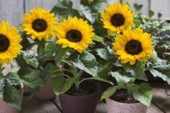Smiley™ Sunflower (Helianthus/sterile)