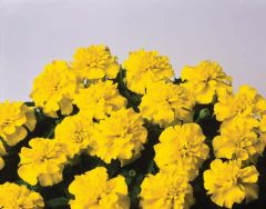 Bonanza Yellow (Marigold/French)