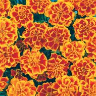 Bonanza Flame (Marigold/French)
