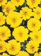 Disco Yellow (Marigold/French)