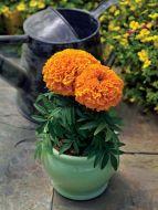 Proud Mari Orange (Marigold/African)