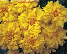 Zenith Lemon Yellow (Detailed/Coated Marigold)