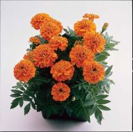 Janie Deep Orange (Marigold/French)