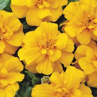 Durango Gold (Marigold/French)