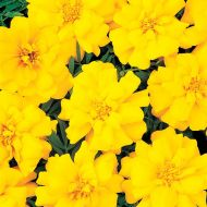 Durango Yellow (Marigold/French)