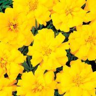 Durango Yellow (Marigold/French)
