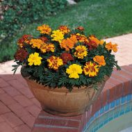 Durango Outback Mix (Marigold/French)