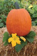 Apollo (Hybrid Pumpkin)