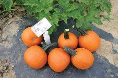 Little Giant (Hybrid Pumpkin)