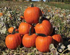 Cronus (Hybrid Pumpkin)